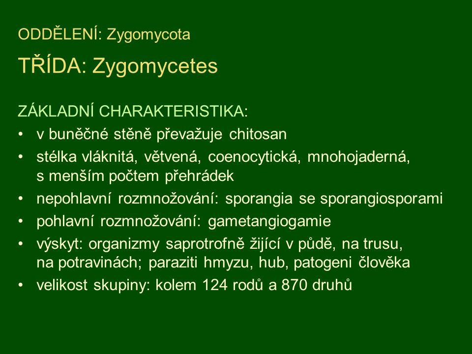 ODDĚLENÍ: Zygomycota TŘÍDA: Zygomycetes ZÁKLADNÍ CHARAKTERISTIKA: v buněčné stěně převažuje chitosan stélka vláknitá, větvená, coenocytická, mnohojade