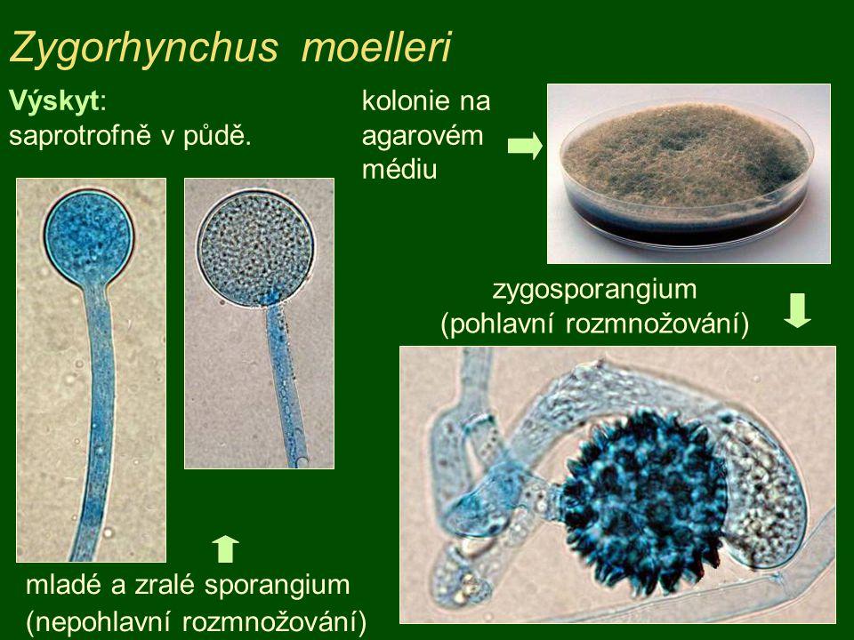 Rhizopus stolonifer sporangiofory se sporangii (nepohlavní rozmnožování) rhizoidy, stolony