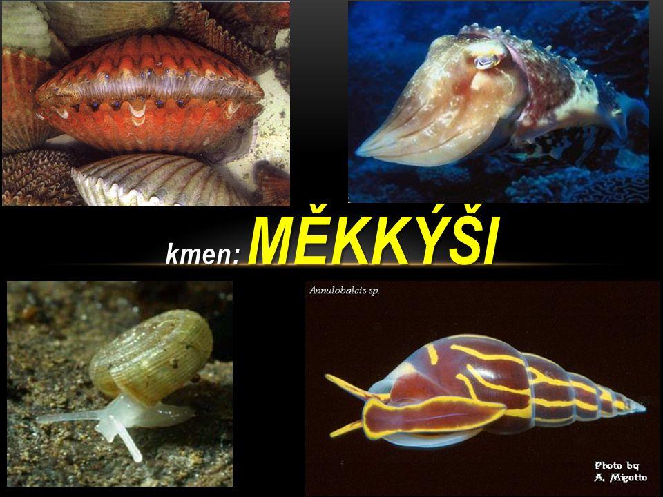 MLŽI Sladkovodní i mořští měkkýši Tělo: svalnatá noha a útrobní vak (hlava chybí) Tělo kryto pláštěm vylučujícím materiál na tvorbu l astury – spojeny svalem VS – vyvrhovacím otvorem RS – oddělená pohlaví, nepřímý vývin (přes larvu)