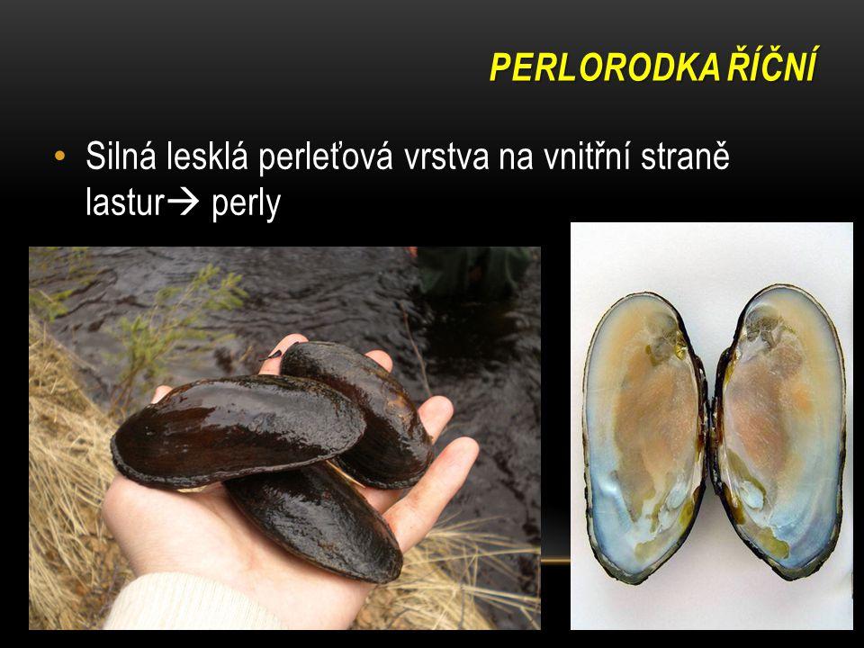 PERLORODKA ŘÍČNÍ Silná lesklá perleťová vrstva na vnitřní straně lastur  perly