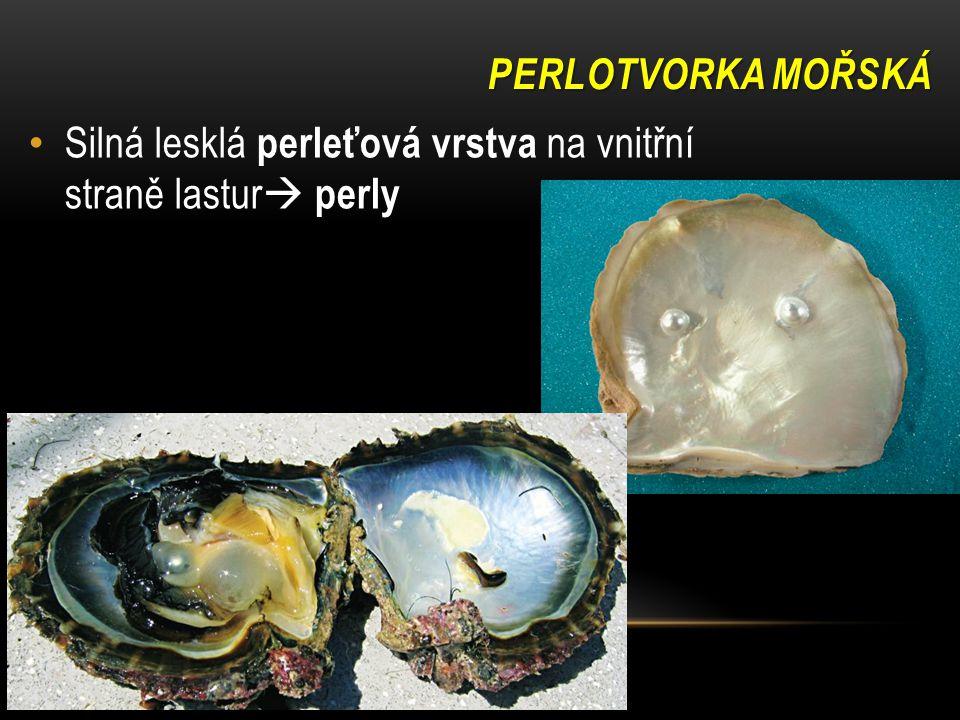 PERLOTVORKA MOŘSKÁ Silná lesklá perleťová vrstva na vnitřní straně lastur  perly