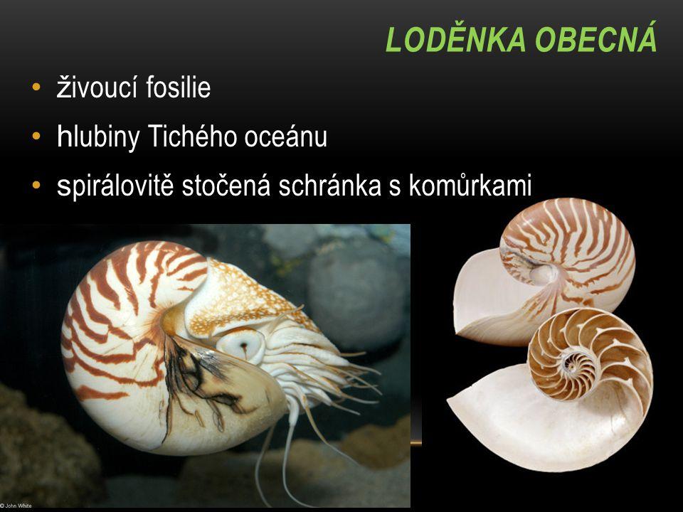 LODĚNKA OBECNÁ ž ivoucí fosilie h lubiny Tichého oceánu s pirálovitě stočená schránka s komůrkami