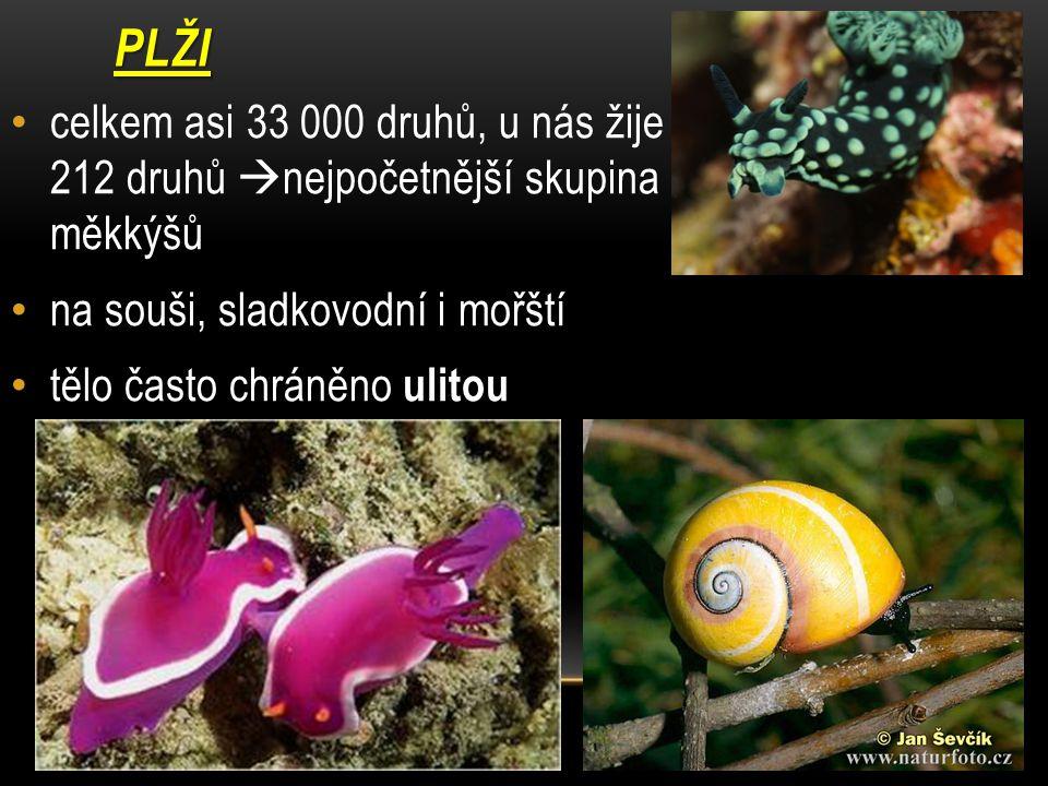 PLŽI celkem asi 33 000 druhů, u nás žije 212 druhů  nejpočetnější skupina měkkýšů na souši, sladkovodní i mořští tělo často chráněno ulitou
