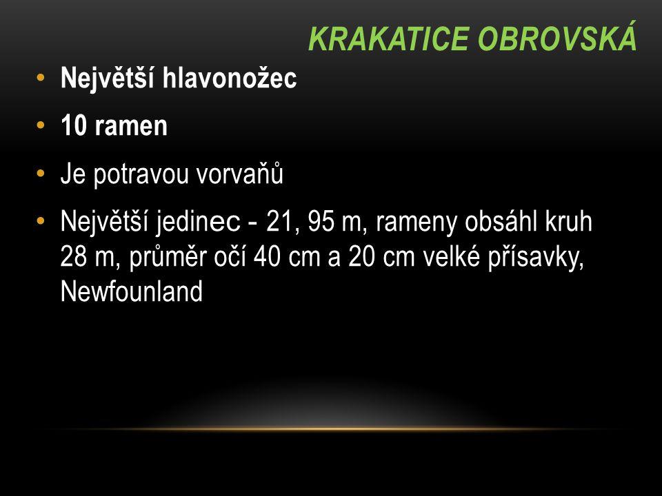KRAKATICE OBROVSKÁ Největší hlavonožec 10 ramen Je potravou vorvaňů Největší jedin ec - 21, 95 m, rameny obsáhl kruh 28 m, průměr očí 40 cm a 20 cm ve