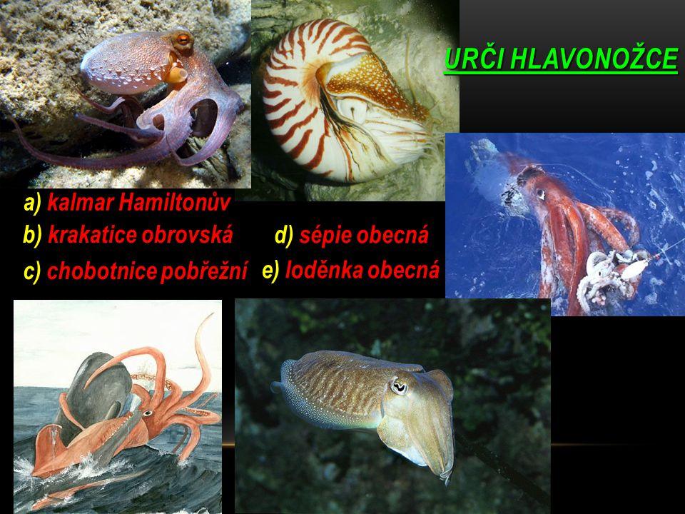URČI HLAVONOŽCE b) krakatice obrovská c) chobotnice pobřežní a) kalmar Hamiltonův e) loděnka obecná d) sépie obecná