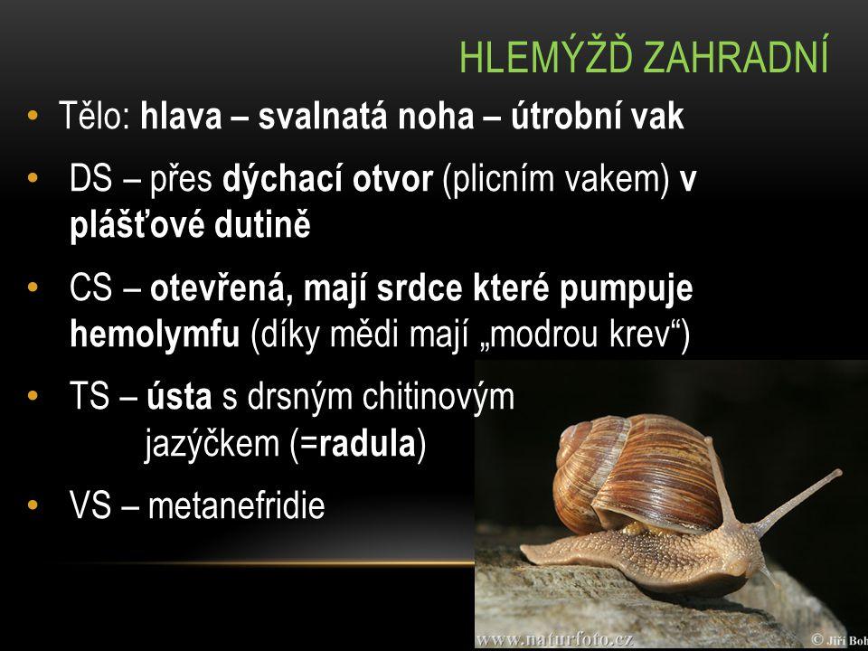 HLEMÝŽĎ ZAHRADNÍ NS – gangliová – 5 párů vzájemně propletených ganglií (= nervových zauzlin) o 2 páry zatažitelných tykadel: kratší – čich a hmat delší – zrak (miskovitá očka) RS – hermafroditi s přímým vývojem pravotočivá ulita (levotočivá je rarita, http://www.ceskatelevize.cz/ct24/svet/veda-a-technika/71986-dva-hlemyzdi- vypadaji-stejne-ale-jeden-je-levak-hugo / ) http://www.ceskatelevize.cz/ct24/svet/veda-a-technika/71986-dva-hlemyzdi- vypadaji-stejne-ale-jeden-je-levak-hugo / vlhká, teplá stanoviště, zejména s vápencovým podkladem
