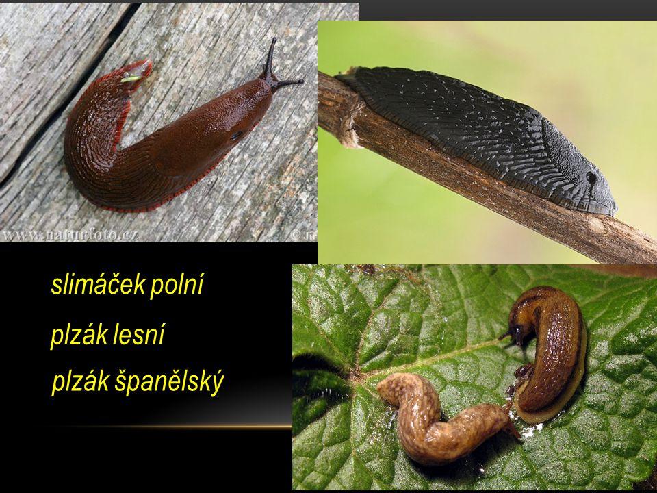 slimáček polní plzák španělský plzák lesní
