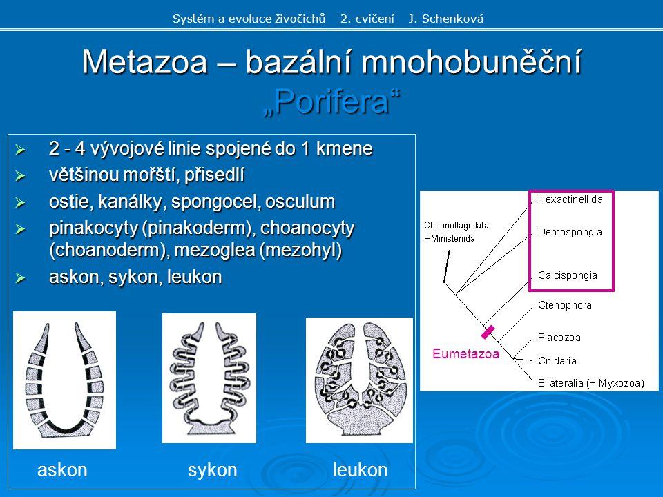 """Metazoa – bazální mnohobuněční """"Porifera""""  2 - 4 vývojové linie spojené do 1 kmene  většinou mořští, přisedlí  ostie, kanálky, spongocel, osculum """