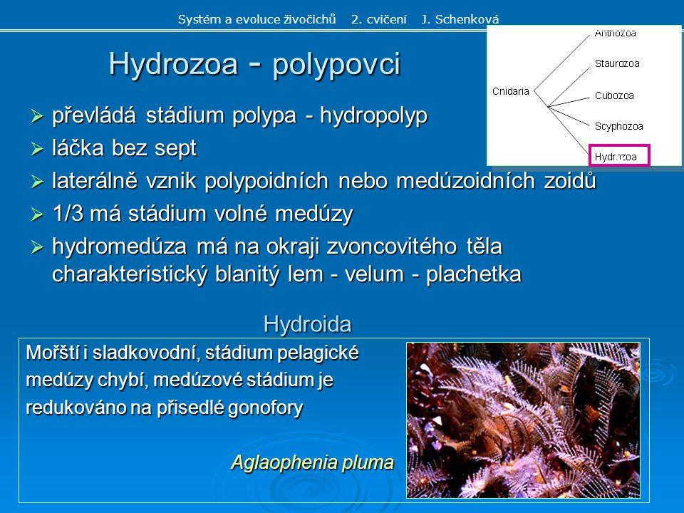  převládá stádium polypa - hydropolyp  láčka bez sept  laterálně vznik polypoidních nebo medúzoidních zoidů  1/3 má stádium volné medúzy  hydrome