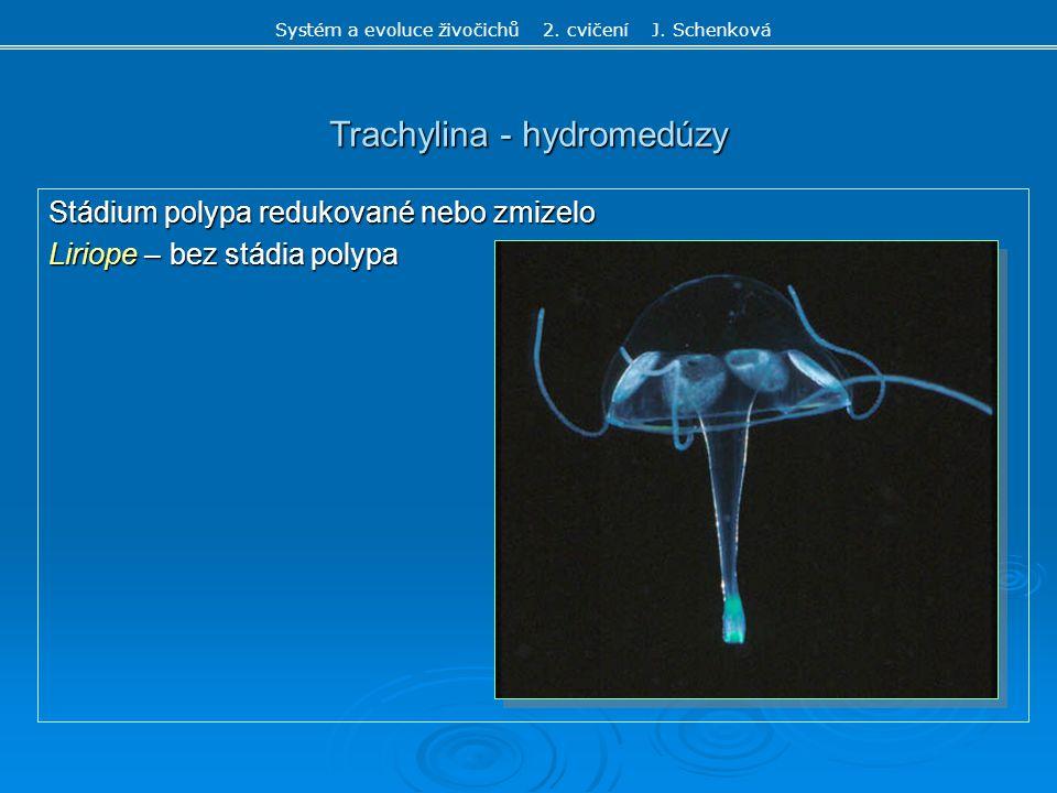 Trachylina - hydromedúzy Stádium polypa redukované nebo zmizelo Liriope – bez stádia polypa Systém a evoluce živočichů 2. cvičení J. Schenková