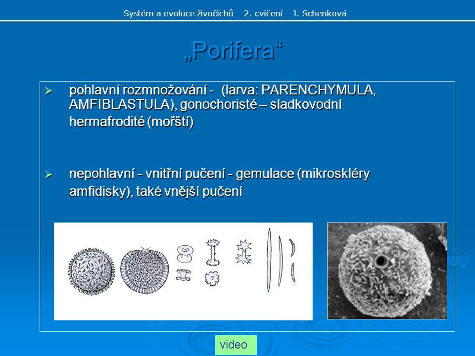 """""""Porifera""""  pohlavní rozmnožování - (larva: PARENCHYMULA, AMFIBLASTULA), gonochoristé – sladkovodní hermafrodité (mořští)  nepohlavní - vnitřní puče"""