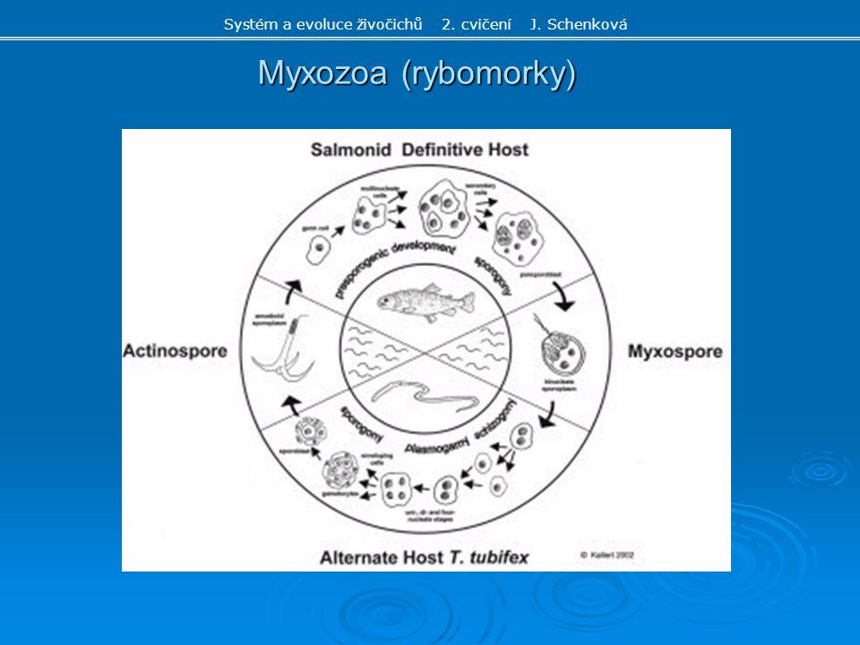 Myxozoa (rybomorky) Systém a evoluce živočichů 2. cvičení J. Schenková