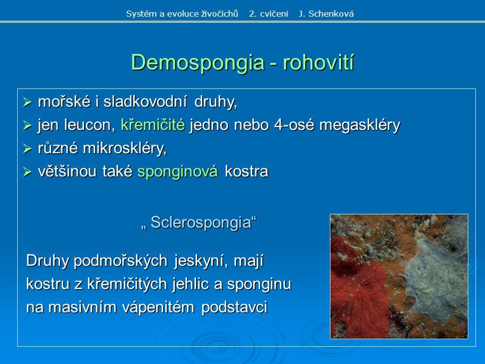 Demospongia - rohovití  mořské i sladkovodní druhy,  jen leucon, křemičité jedno nebo 4-osé megaskléry  různé mikroskléry,  většinou také spongino