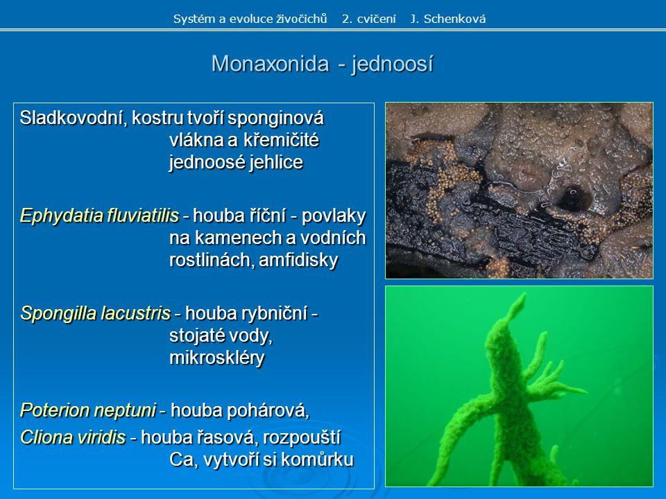 Monaxonida - jednoosí Sladkovodní, kostru tvoří sponginová vlákna a křemičité jednoosé jehlice Ephydatia fluviatilis - houba říční - povlaky na kamene