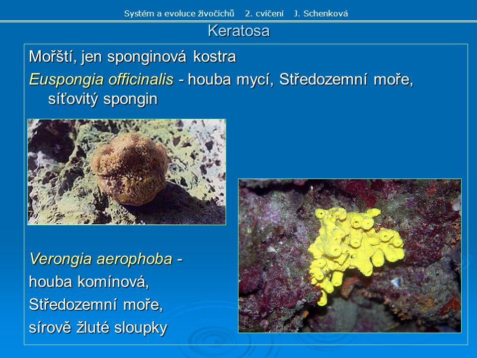Calcispongia - vápenatí Druhy mělkých moří, jen zde vápenité jehlice z CaCO 3, někdy volné nebo masivní kostra, všechny 3 typy stavby Sycon raphanus - houba voštinatá - trojosé jehlice, - oblast Středozemního moře - tělní stavba sykon - věnec jehlic kolem oscula Systém a evoluce živočichů 2.