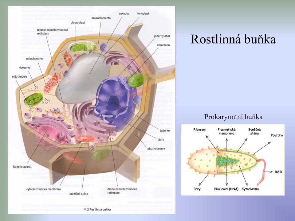 Rostlinná buňka Prokaryontní buňka