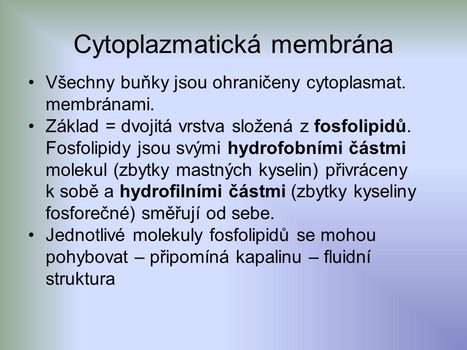 Cytoplazmatická membrána Všechny buňky jsou ohraničeny cytoplasmat.