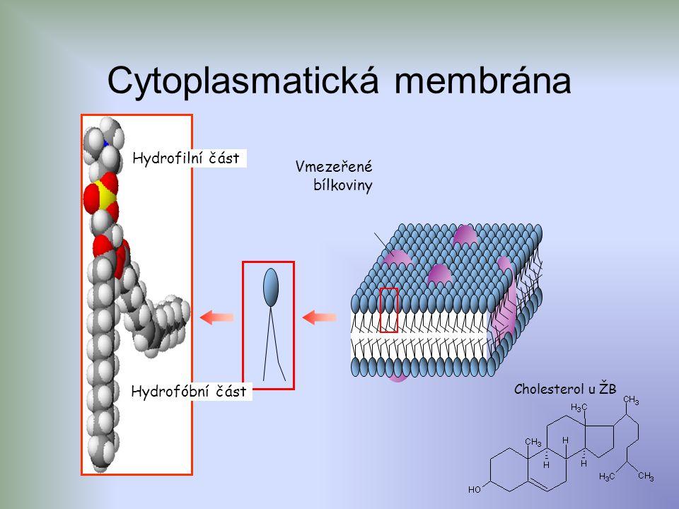 Cytoplasmatická membrána Cholesterol u ŽB Hydrofilní část Hydrofóbní část Vmezeřené bílkoviny