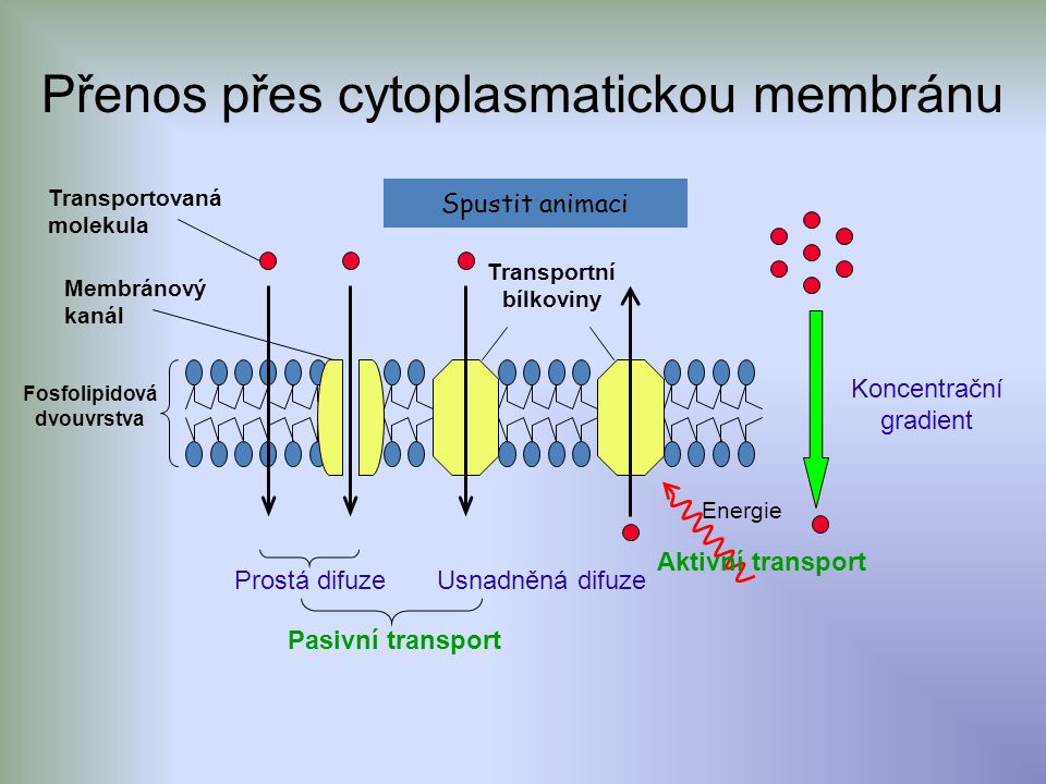 Koncentrační gradient Energie Prostá difuze Usnadněná difuze Pasivní transport Aktivní transport Fosfolipidová dvouvrstva Transportovaná molekula Transportní bílkoviny Membránový kanál Přenos přes cytoplasmatickou membránu Spustit animaci