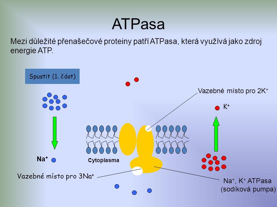 ATPasa Mezi důležité přenašečové proteiny patří ATPasa, která využívá jako zdroj energie ATP.