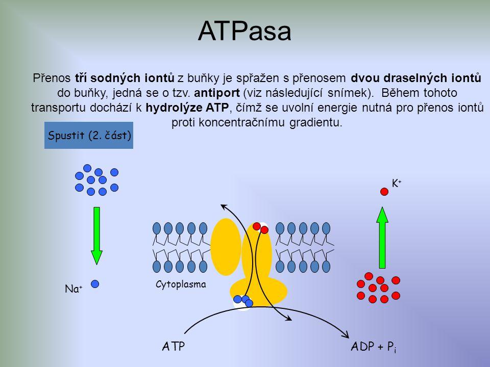 ATPasa K+K+ Na + ATPADP + P i Přenos tří sodných iontů z buňky je spřažen s přenosem dvou draselných iontů do buňky, jedná se o tzv.