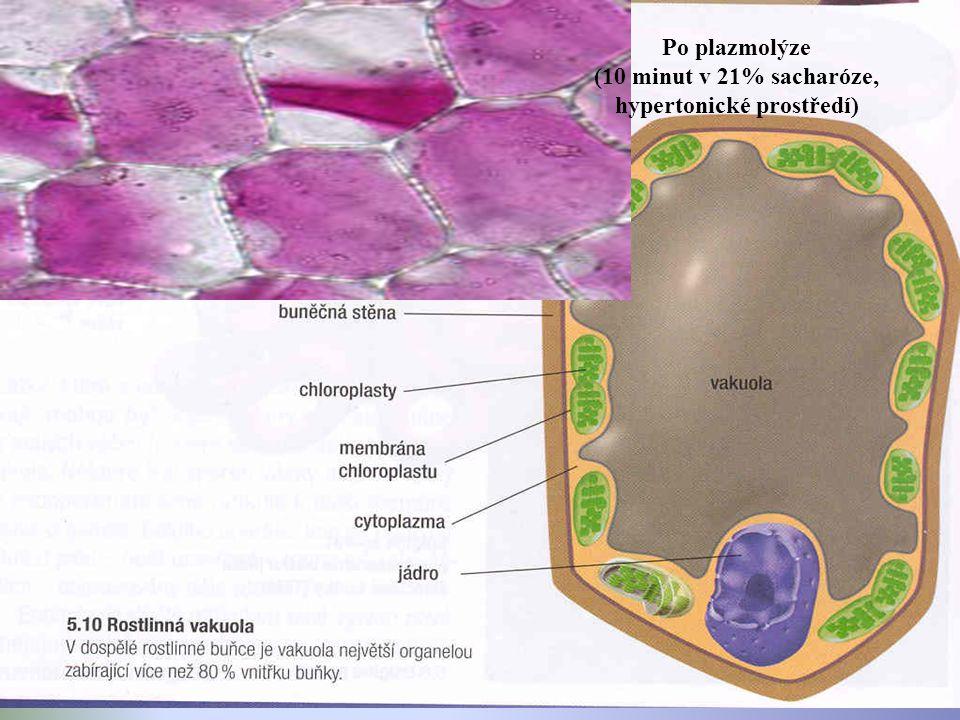 Po plazmolýze (10 minut v 21% sacharóze, hypertonické prostředí)