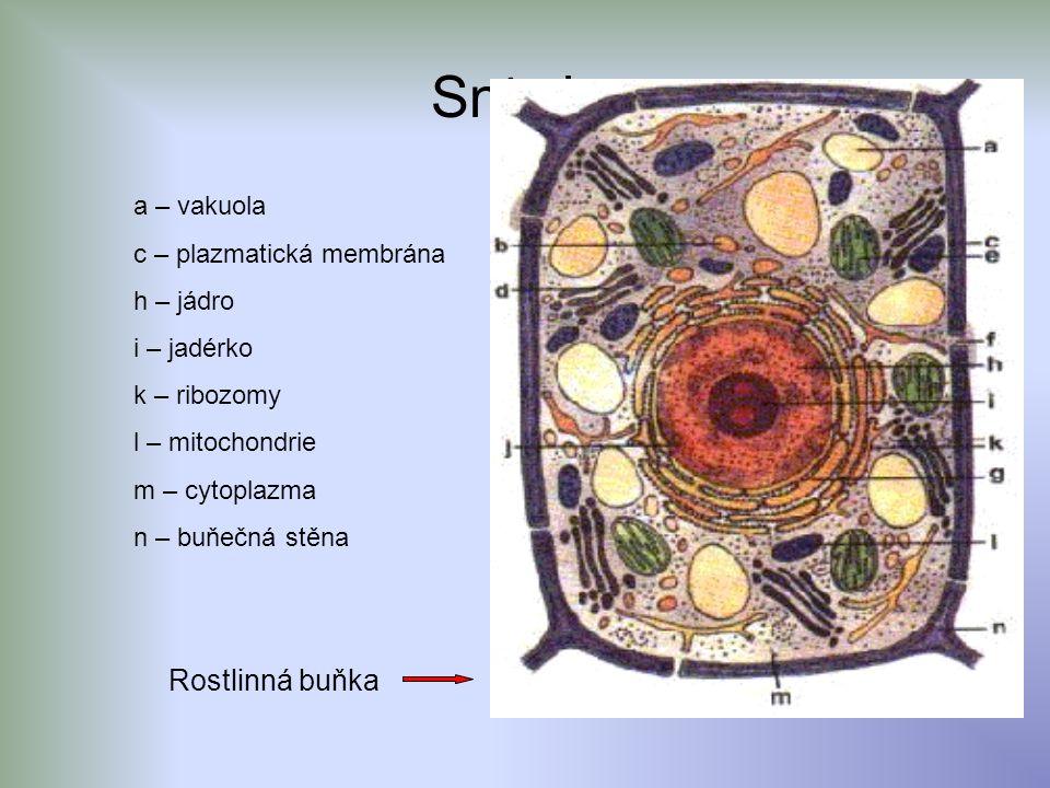 Sn í mky a – vakuola c – plazmatická membrána h – jádro i – jadérko k – ribozomy l – mitochondrie m – cytoplazma n – buňečná stěna Rostlinná buňka