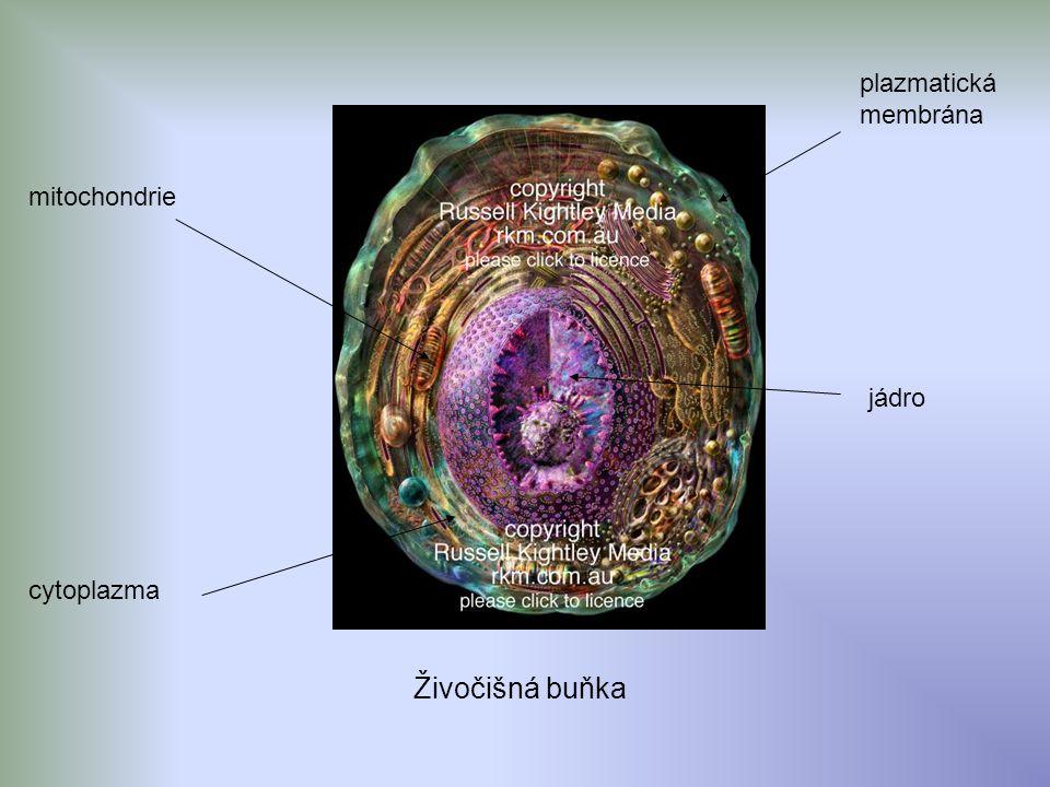 cytoplazma mitochondrie plazmatická membrána jádro Živočišná buňka