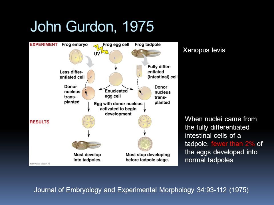 John Gurdon, 1975 Journal of Embryology and Experimental Morphology 34:93-112 (1975) When nuclei came from the fully differentiated intestinal cells o