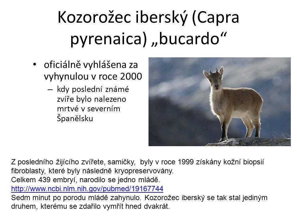 """Kozorožec iberský (Capra pyrenaica) """"bucardo"""" oficiálně vyhlášena za vyhynulou v roce 2000 – kdy poslední známé zvíře bylo nalezeno mrtvé v severním Š"""