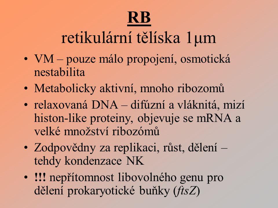 RB retikulární tělíska 1μm VM – pouze málo propojení, osmotická nestabilita Metabolicky aktivní, mnoho ribozomů relaxovaná DNA – difúzní a vláknitá, mizí histon-like proteiny, objevuje se mRNA a velké množství ribozómů Zodpovědny za replikaci, růst, dělení – tehdy kondenzace NK !!.