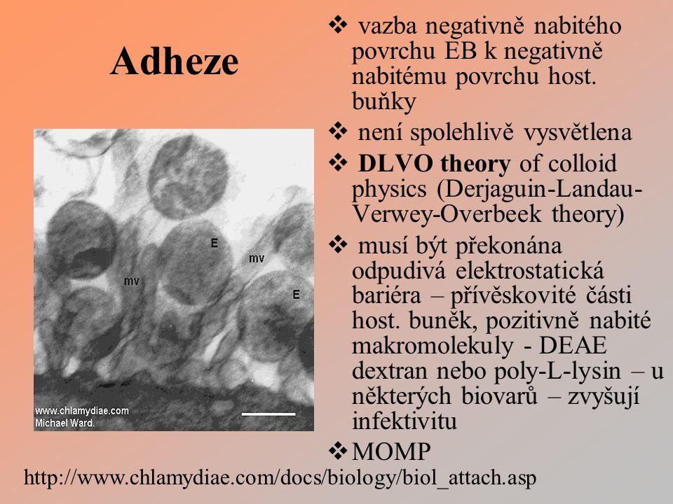 Adheze  vazba negativně nabitého povrchu EB k negativně nabitému povrchu host.