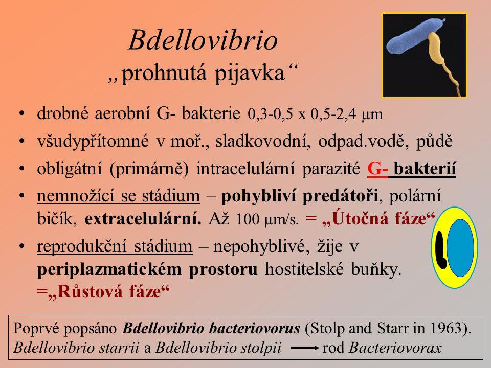 Chlamydiové infekce Ornitóza, psitakóza – zoonóza ; pneumonie Chlamydia trachomatis Chlamydophila pneumoniae – 10% komunitních pneumonií.