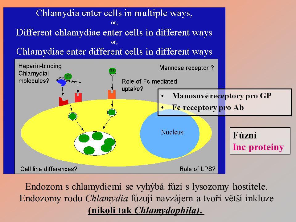 Manosové receptory pro GP Fc receptory pro Ab Endozom s chlamydiemi se vyhýbá fúzi s lysozomy hostitele.