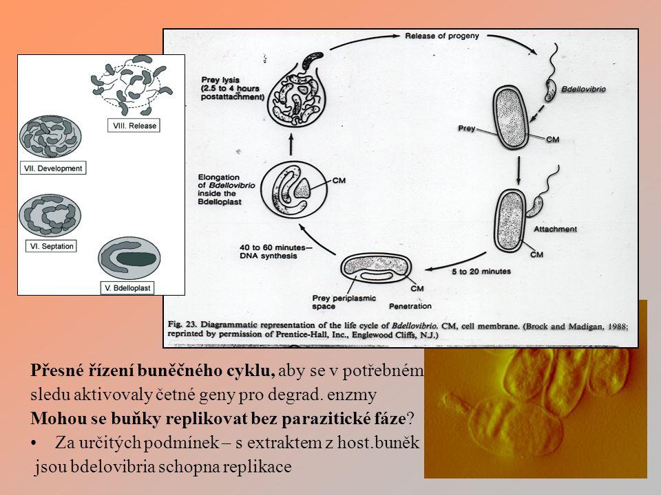 Přesné řízení buněčného cyklu, aby se v potřebném sledu aktivovaly četné geny pro degrad.