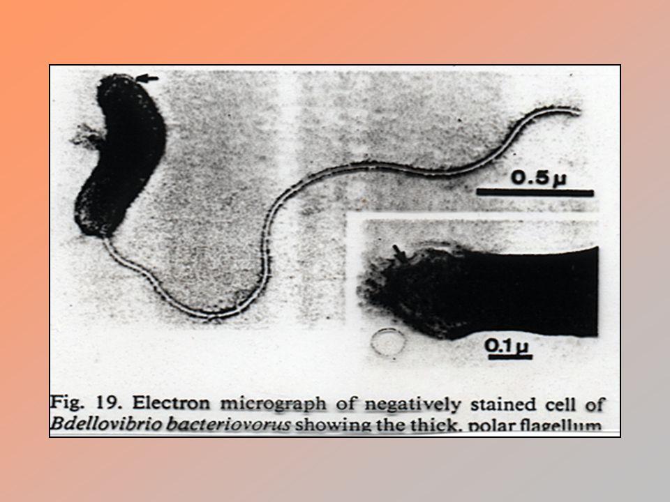 Vazba na povrch buňky, tvorba endocytických vakuol, diferenciace v RB, binární dělení RB.