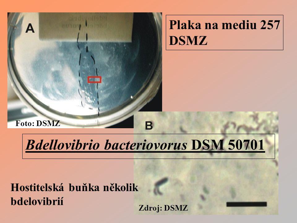 Foto: DSMZ Zdroj: DSMZ Bdellovibrio bacteriovorus DSM 50701 Plaka na mediu 257 DSMZ Hostitelská buňka několik bdelovibrií