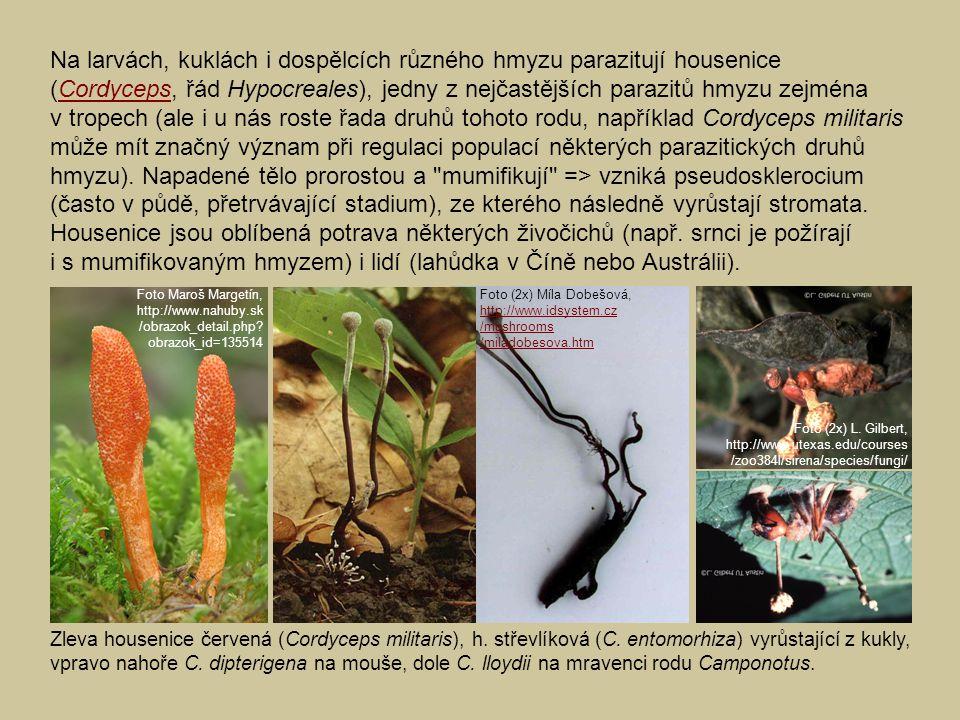Na larvách, kuklách i dospělcích různého hmyzu parazitují housenice (Cordyceps, řád Hypocreales), jedny z nejčastějších parazitů hmyzu zejména v trope