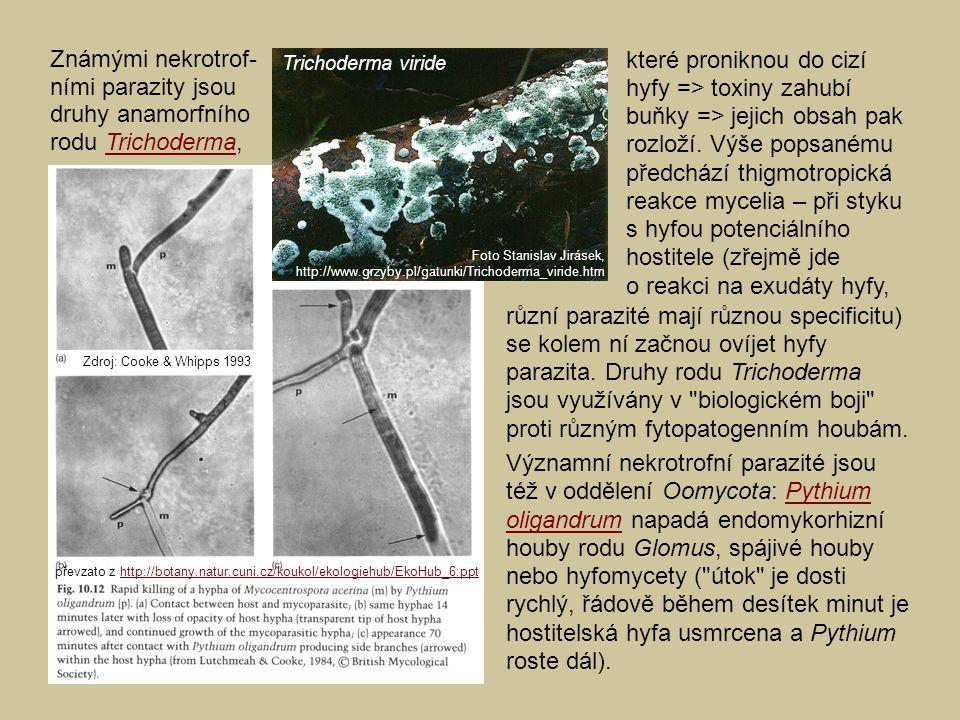různí parazité mají různou specificitu) se kolem ní začnou ovíjet hyfy parazita. Druhy rodu Trichoderma jsou využívány v