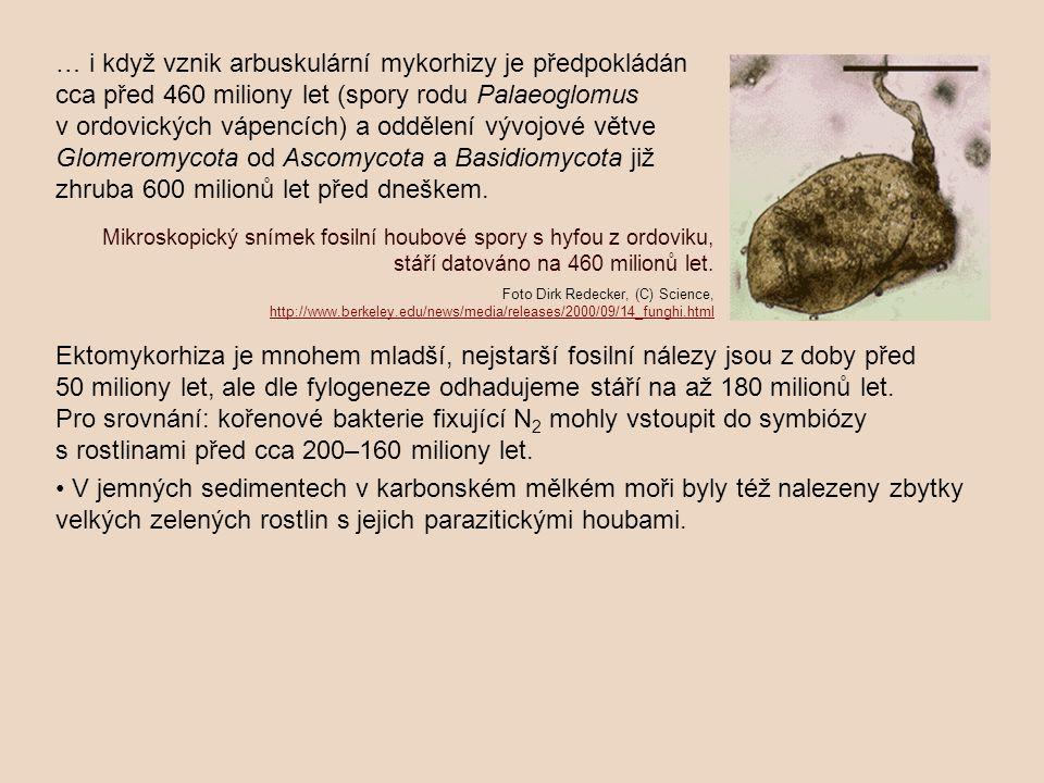… i když vznik arbuskulární mykorhizy je předpokládán cca před 460 miliony let (spory rodu Palaeoglomus v ordovických vápencích) a oddělení vývojové větve Glomeromycota od Ascomycota a Basidiomycota již zhruba 600 milionů let před dneškem.