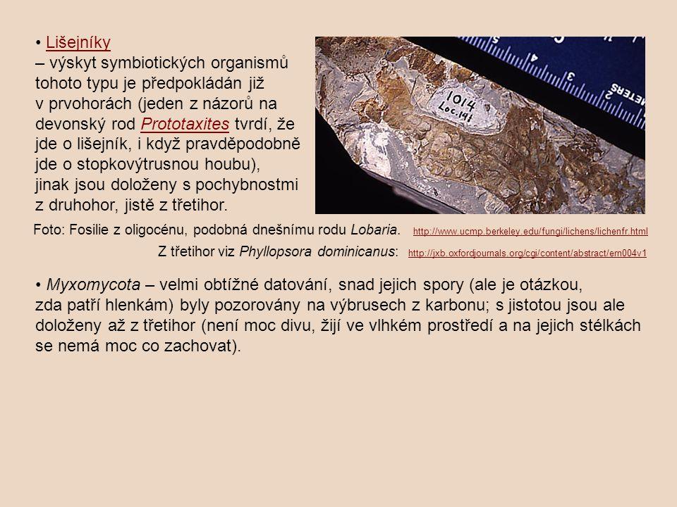 Lišejníky – výskyt symbiotických organismů tohoto typu je předpokládán již v prvohorách (jeden z názorů na devonský rod Prototaxites tvrdí, že jde o lišejník, i když pravděpodobně jde o stopkovýtrusnou houbu), jinak jsou doloženy s pochybnostmi z druhohor, jistě z třetihor.Prototaxites Foto: Fosilie z oligocénu, podobná dnešnímu rodu Lobaria.