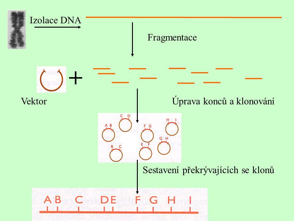 Fragmentace Izolace DNA + Úprava konců a klonováníVektor Sestavení překrývajících se klonů