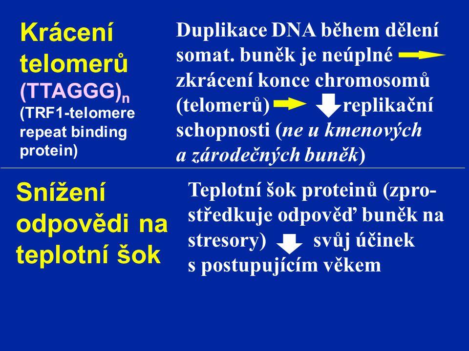 Krácení telomerů (TTAGGG) n (TRF1-telomere repeat binding protein) Duplikace DNA během dělení somat. buněk je neúplné zkrácení konce chromosomů (telom