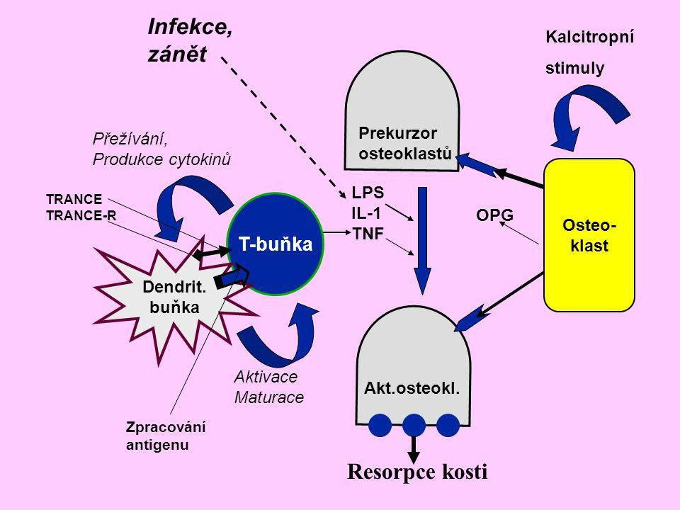 T-buňka Dendrit. buňka Osteo- klast Prekurzor osteoklastů Resorpce kosti Akt.osteokl. Kalcitropní stimuly Infekce, zánět LPS IL-1 TNF Přežívání, Produ
