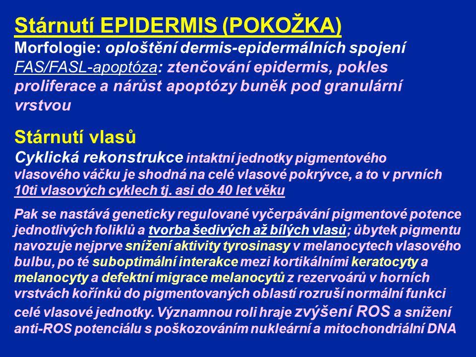 Stárnutí EPIDERMIS (POKOŽKA) Morfologie: oploštění dermis-epidermálních spojení FAS/FASL-apoptóza: ztenčování epidermis, pokles proliferace a nárůst a