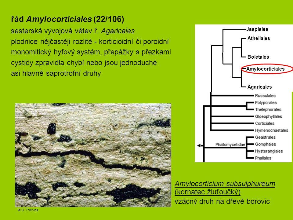 Irpicodon pendulus (zubateček zavěšený) irpikoidní hymenofor, vzácně na dřevě borovic Anomoloma myceliosum (pórnatka vláknitá) poroidní hymenofor, vzácně na jehličnanech © Jan Vesterholt