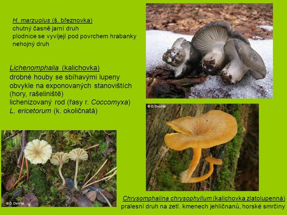 H. marzuolus (š. březnovka) chutný časně jarní druh plodnice se vyvíjejí pod povrchem hrabanky nehojný druh Lichenomphalia (kalichovka) drobné houby