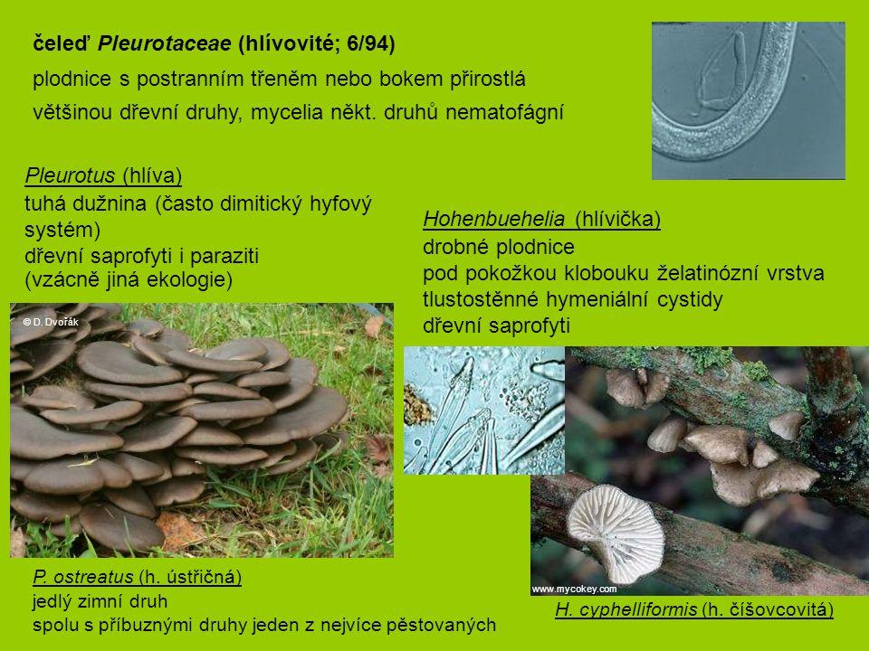 Hohenbuehelia (hlívička) drobné plodnice pod pokožkou klobouku želatinózní vrstva tlustostěnné hymeniální cystidy dřevní saprofyti P. ostreatus (h. ú