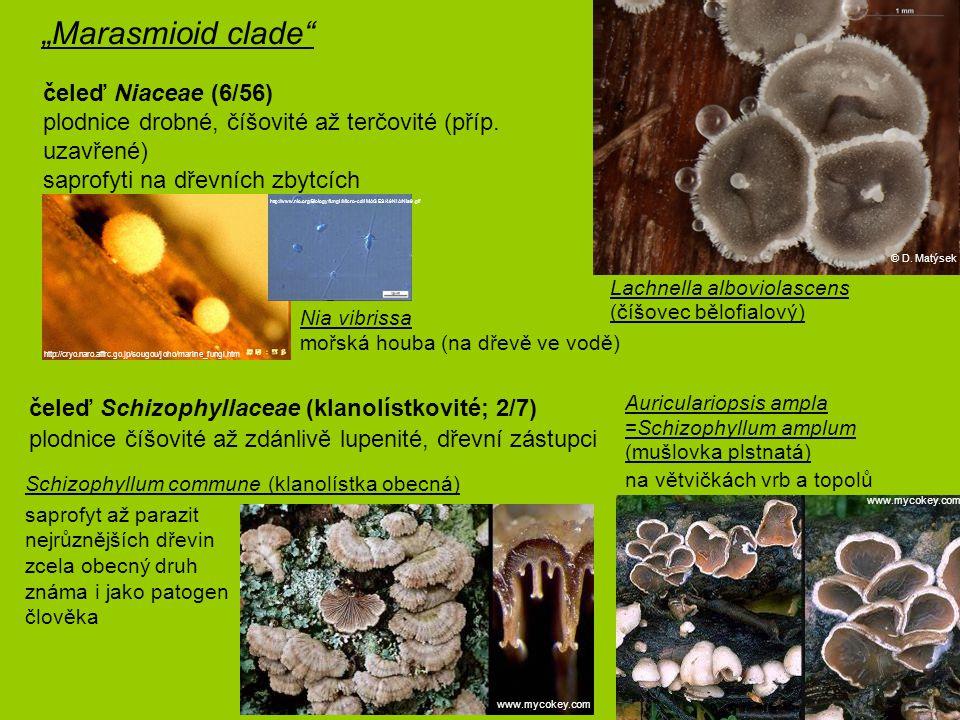 čeleď Schizophyllaceae (klanolístkovité; 2/7) plodnice číšovité až zdánlivě lupenité, dřevní zástupci saprofyt až parazit nejrůznějších dřevin zcela