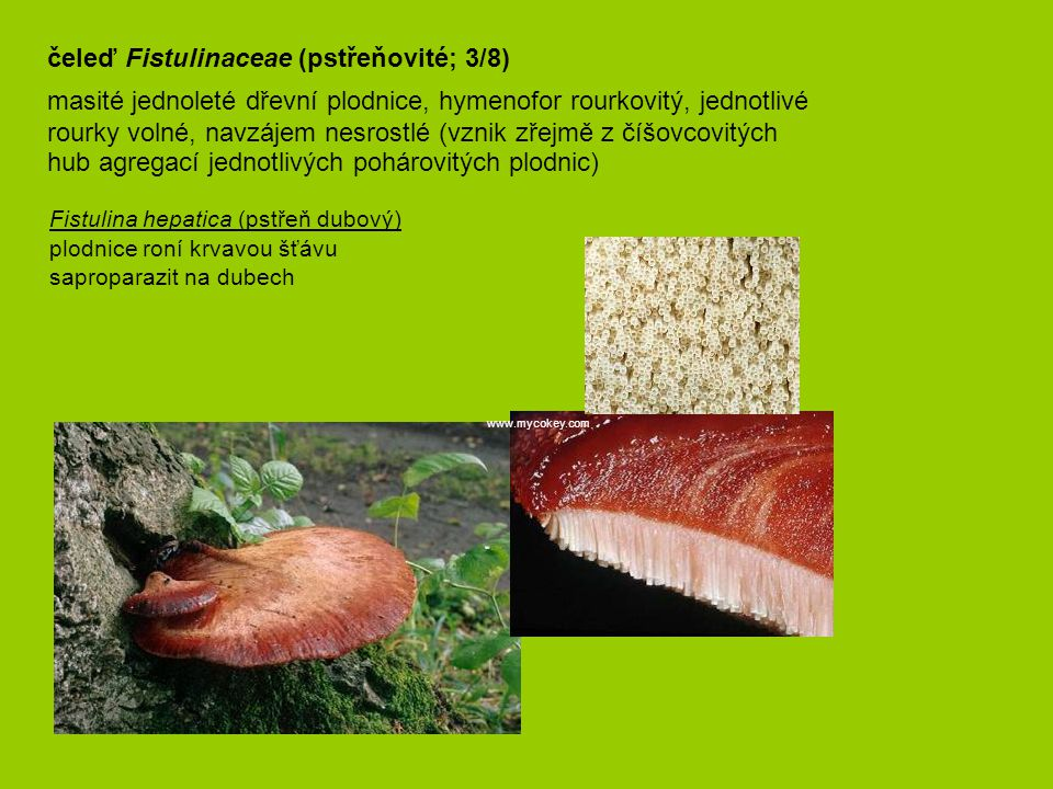 čeleď Fistulinaceae (pstřeňovité; 3/8) masité jednoleté dřevní plodnice, hymenofor rourkovitý, jednotlivé rourky volné, navzájem nesrostlé (vznik zře